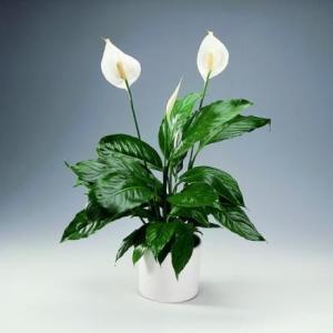 ядовитое растение для животных